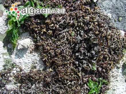 Pterochondria woodii var. pygmaea (Setchell) Dawson