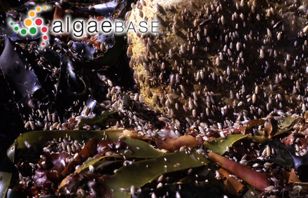 Levringiella gardneri (Setchell) Kylin