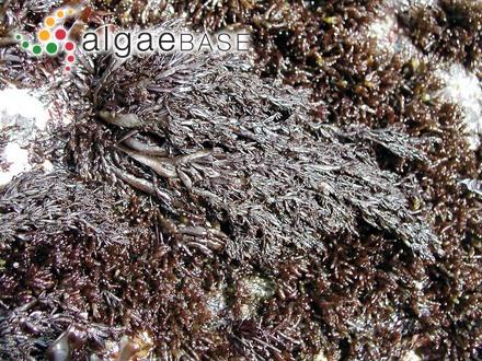 Erythrocystis saccata (J.Agardh) P.C.Silva