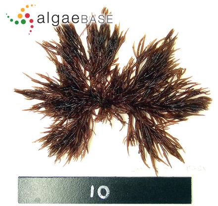 Acrochaetium agardhiellae A.B.Joly & Cordeiro