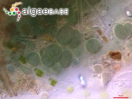 Amphiroa hancockii W.R.Taylor