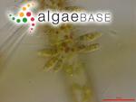 Characiopsis minuta (A.Braun) Borzì