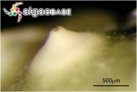 Sphaerococcus dumosus (Harvey & Bailey) Kützing