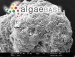 Hapalidium confervicola (Kützing) Areschoug