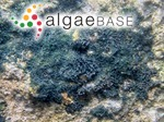 Scytonematopsis crustacea (Thuret ex Bornet & Flahault) Kováčik & Komárek