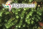 Caulerpa sedoides f. geminata (Harvey) Weber Bosse