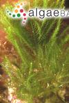 Caulerpa heterophylla I.R.Price, J.M.Huisman & M.A.Borowitzka