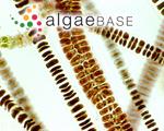 Bangia atropurpurea subsp. fuscopurpurea (Dillwyn) De Toni