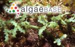 Caulerpa freycinetii f. lata Weber Bosse