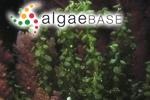 Caulerpa clavifera var. turbinata J.Agardh