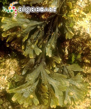 Fucus vesiculosus Linnaeus