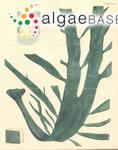 Durvillaea potatorum (Labillardière) Areschoug