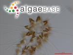 Asterionellopsis glacialis (Castracane) Round