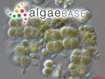 Apatococcus lobatus (Chodat) J.B.Petersen