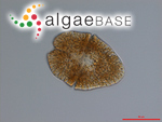 Gymnodinium sanguineum K.Hirasaka