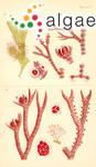 Ceramium miniatum Suhr ex J.Agardh