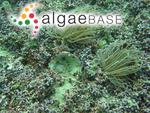 Phymatolithon calcareum (Pallas) W.H.Adey & D.L.McKibbin ex Woelkering & L.M.Irvine