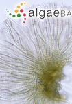 Mastocarpus stellatus (Stackhouse) Guiry