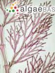 Pleonosporium flexuosum (C.Agardh) Bornet