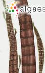 Polysiphonia elongata (Hudson) Sprengel