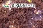 Acanthophora spicifera (M.Vahl) Børgesen