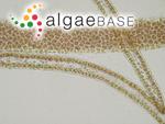 Rhodophyllis divaricata (Stackhouse) Papenfuss