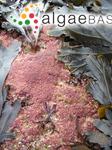 Kylinia floridula (Dillwyn) Papenfuss