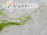 Acrosiphonia coalita (Ruprecht) Scagel & al.