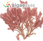 Acrosymphyton brainardii Vroom & I.A.Abbott