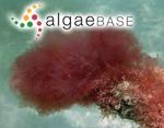 Aglaothamnion flexibile N.E.Aponte & D.L.Ballantine