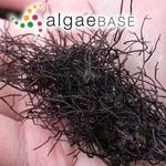 Gigartina plicata (Hudson) J.V.Lamouroux