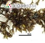 Benzaitenia yenoshimensis Yendo