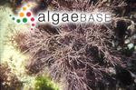 Amphiroa gracilis Harvey