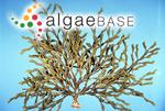 Ascophyllum constricta (J.Agardh) Kuntze