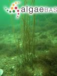Ceramium filum (Linnaeus) Wiggers