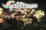 Chrysymenia kaernbachii Grunow
