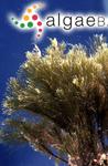 Sphacelaria funicularis Montagne