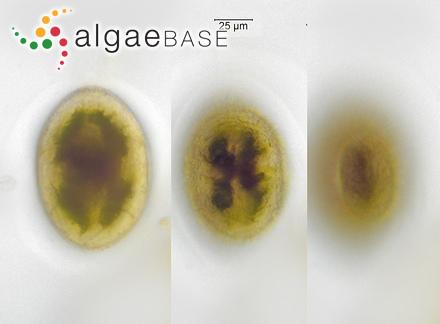 Fucus inflatus f. linearis (Oeder) Børgesen