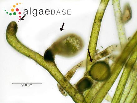 Fucodium nodosum (Linnaeus) J.Agardh