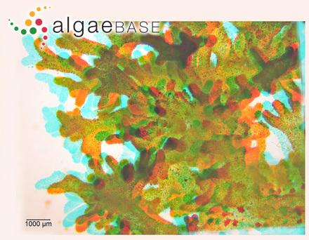 Asperococcus lessonii Bory