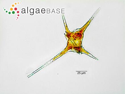 Eleutherospora polymorpha Heydrich