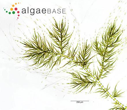 Ptilonia magellanica (Montagne) J.Agardh