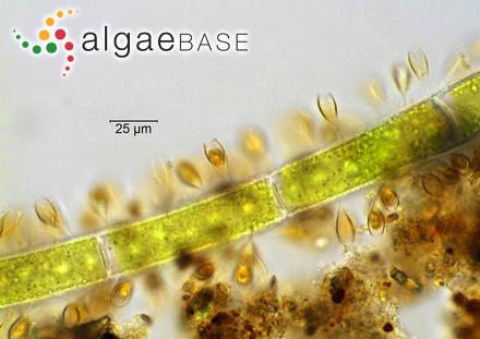 Desmotrichum balticum f. paradoxum Gran