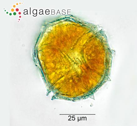 Scytosiphon lomentaria f. tortilis Yamada