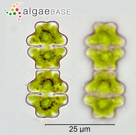 Polysiphonia reptabunda (Suhr) Kützing