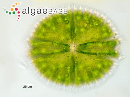 Halimeda velasquezii var. robusta P.A.Cordero