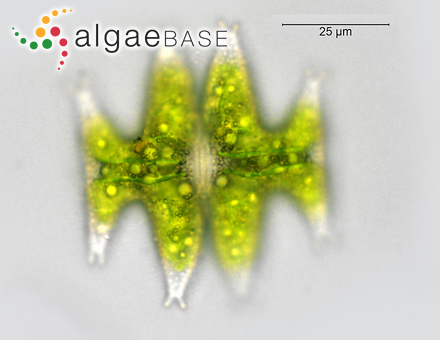 Dermatolithon lejolisii (Rosanoff) Foslie