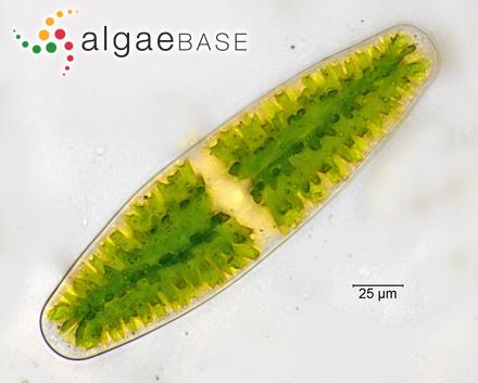 Lithothamnion corallioides f. minutum Foslie