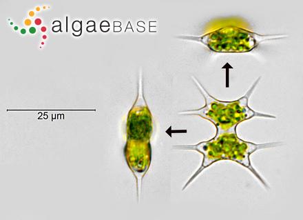 Sargassum validum J.Agardh