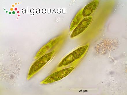Cladochroa chnoosporiformis Skottsberg